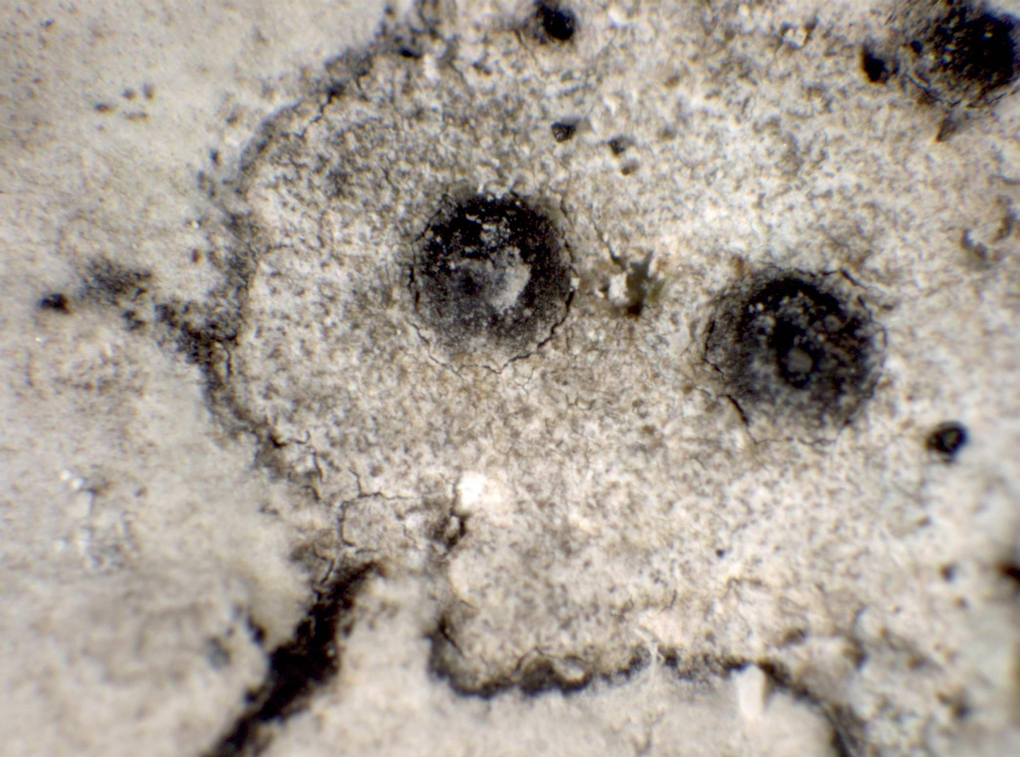 Polyblastia ardesiaca (Bagl. & Carestia) Zschacke